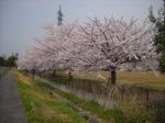 Sakura04111
