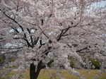 Sakura04112